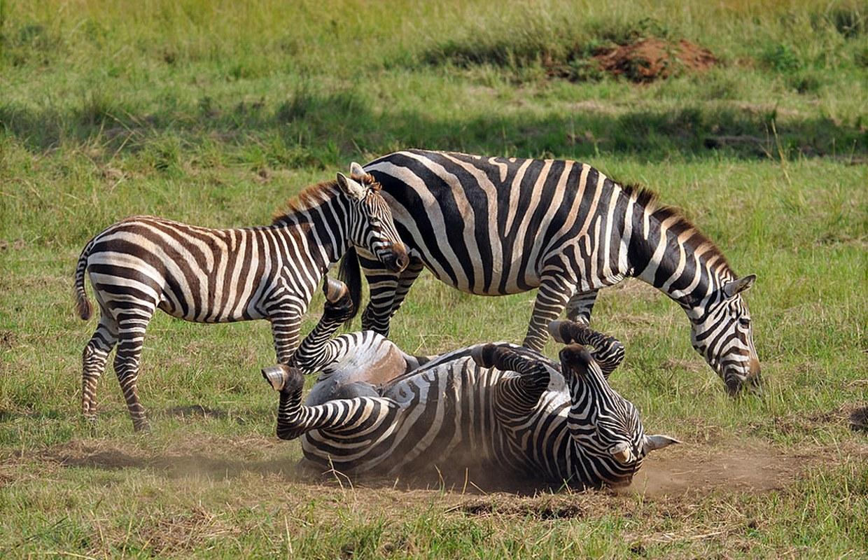 Zebras-in-kidepo