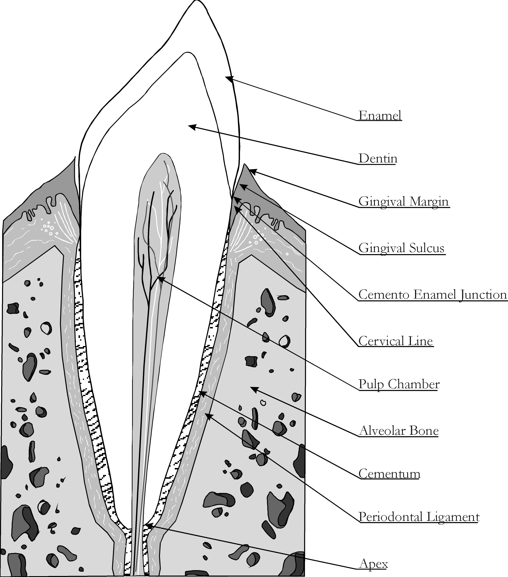 Dental Structure Anatomy Of Dogs
