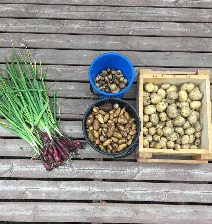 Harvest of today. Started with potatoe harvesting and about half of the onions that are left.