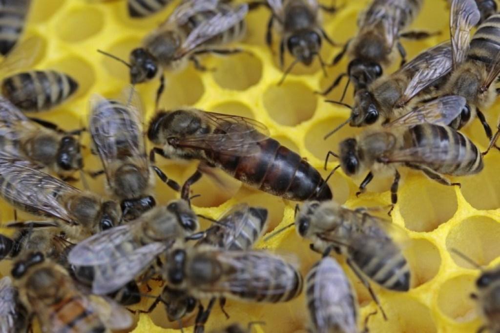 ratu lebah dikelilingi lebah pekerja