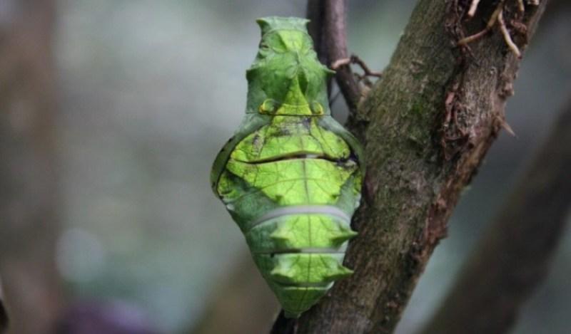 kepompong tahap terakhir metamorfosis sebelum menjadi kupu kupu