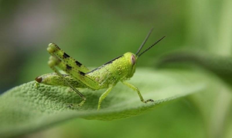 belalang muda metamorfosis