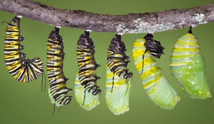 perubahan dari larva menjadi kepompong