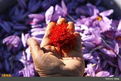 زعفران,زعفران قیمت,صادرات زعفران,زعفران سرگل,گل زعفران,قیمت زعفران,فروش زعفران,خرید زعفران,زعفران فله,زعفران بسته بندی,تولید زعفران در همدان امسال افزایش پیدا می کند