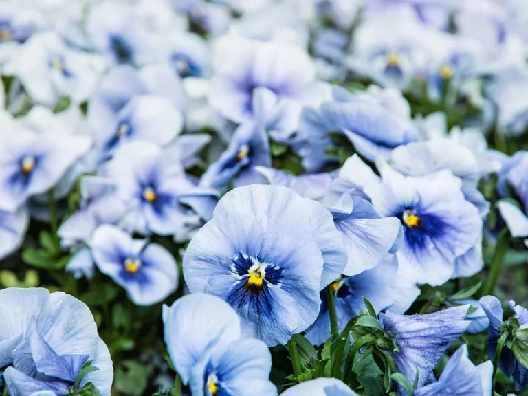 Blue flowers for your garden   Saga Blue pansies