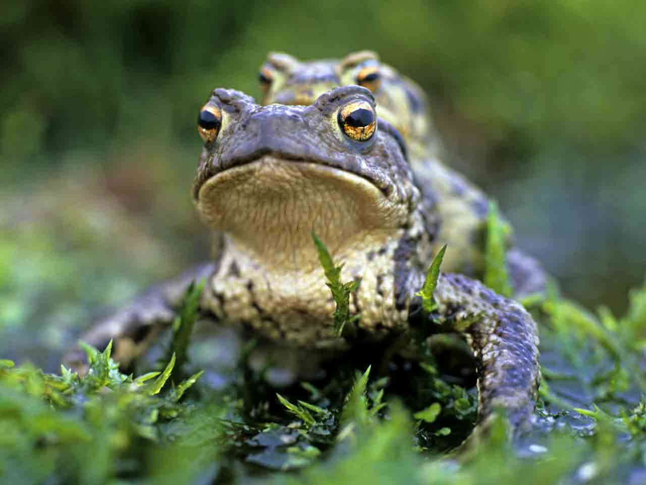 The Common Toad Mating Habits Amp Identification