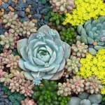 How To Grow Succulents Saga