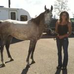 Noble Rhapsody Arabian Endurance Horse For Sale Sage Hill Arabians