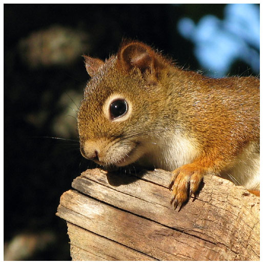 Original Image of Squirrel