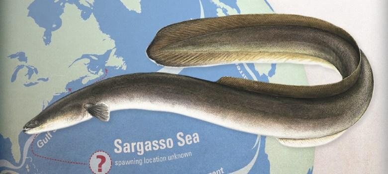 anguilla Mar dei Sargassi