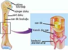 Kemik İliği Nakli