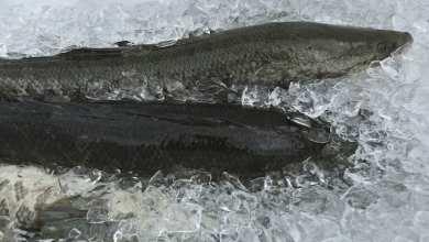 Photo of سمكة «رأس الثعبان» تثير الرعب في الولايات المتحدة
