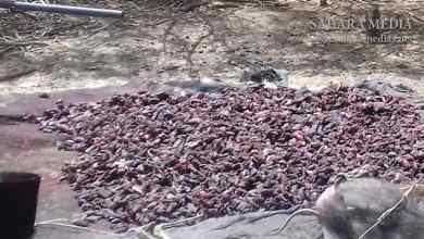 Photo of موريتانيا.. عصابة تجفف لحم «الخنزير البري» لبيعه