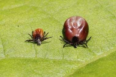 حشرة القراد التي تنقل المرض من الحيوان إلى الإنسان