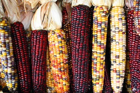 هل توفر الفواكه والخضروات العضوية حماية ضد السرطان|  الذرة