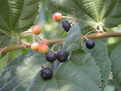 फालसा फल का फोटो