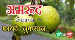 amrud guava