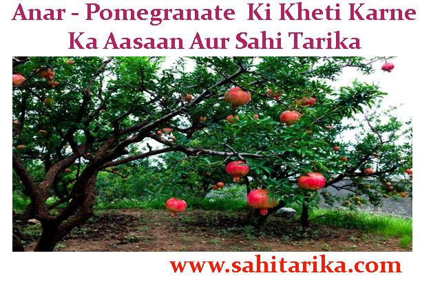 Anar - Pomegranate Ki Kheti Karne Ka Aasaan Aur Sahi Tarika