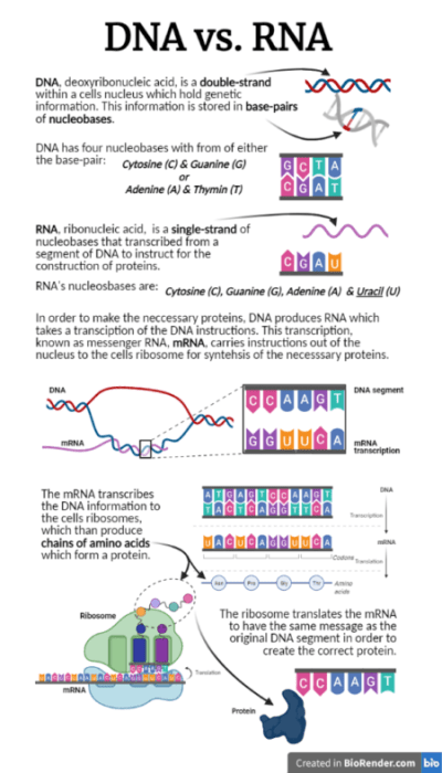 Infographic of DNA vs RNA. Explaining the differences and how RNA works