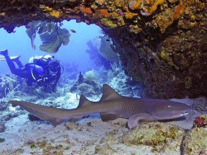 SCUBA_Shark