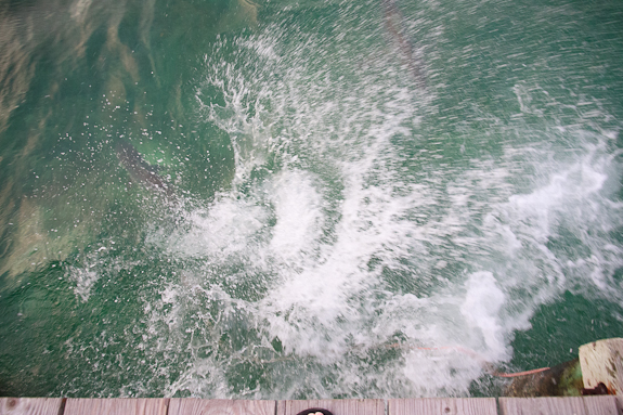 Shark_feeding_splash2