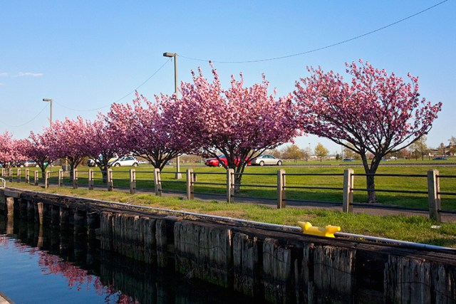 cherry_blossoms_Jersey_city