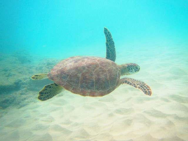 Sea turtles are plentiful in Paynes Bay in Barbados