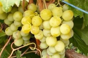 recept-mochenogo-vinograda