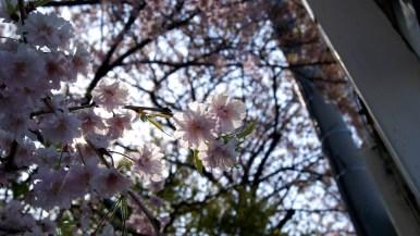 まだ桜が咲いている!