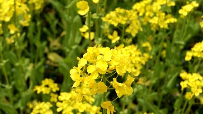 辺り一面菜の花!