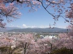 150406春日公園桜-昨年01