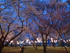 150412春日公園桜02