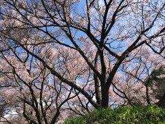 150422山室桜