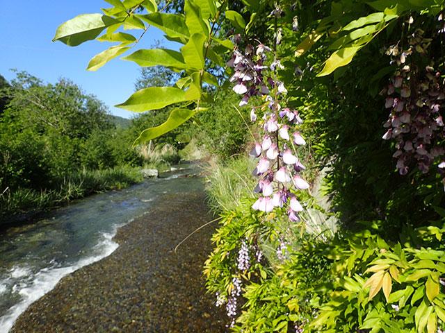 160526山室川藤の花