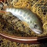 水面を漂うニンフ|木曽川水系 フライフィッシング