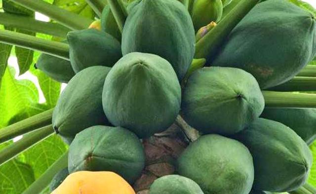Eating Papaya Reduces Health Risks - Sakshi
