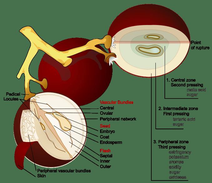 Wine_grape_diagram