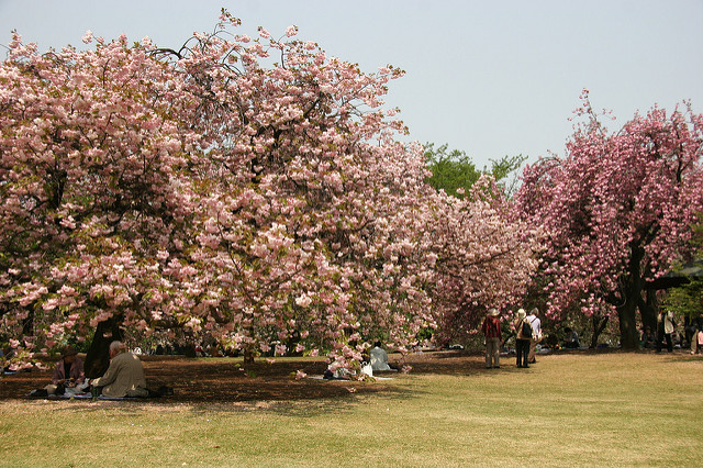 tokyo-cherry-blossom-shinjuku-gyoen