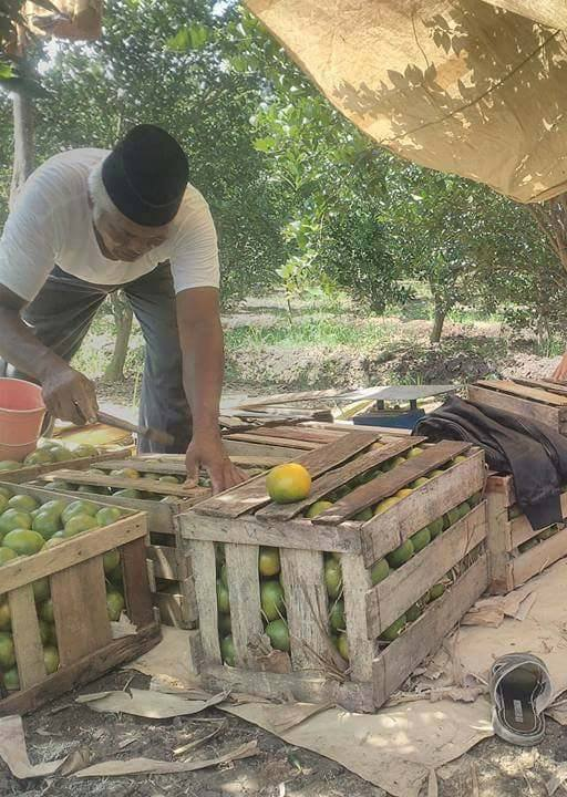 Packing Buah Jeruk Segeran (dok. IMS)