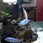 Peces nuevos en la pecera