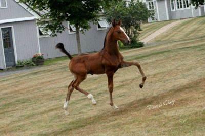 Bazinga Foal