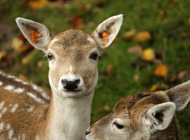 Photo Credit: Jean Verdeyen https://www.goodfreephotos.com/animals/mammals/deer-in-the-wild.jpg.php