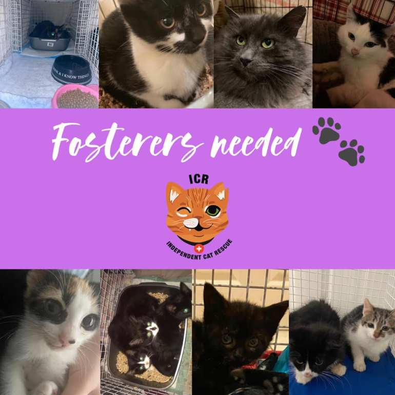 Independent Cat Rescue are looking for fosterers - can you help? Photo Credit: Ashlea Franks, used with permission.