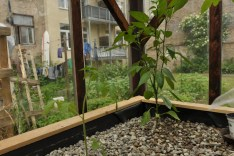 Tomate im Gravelbecken