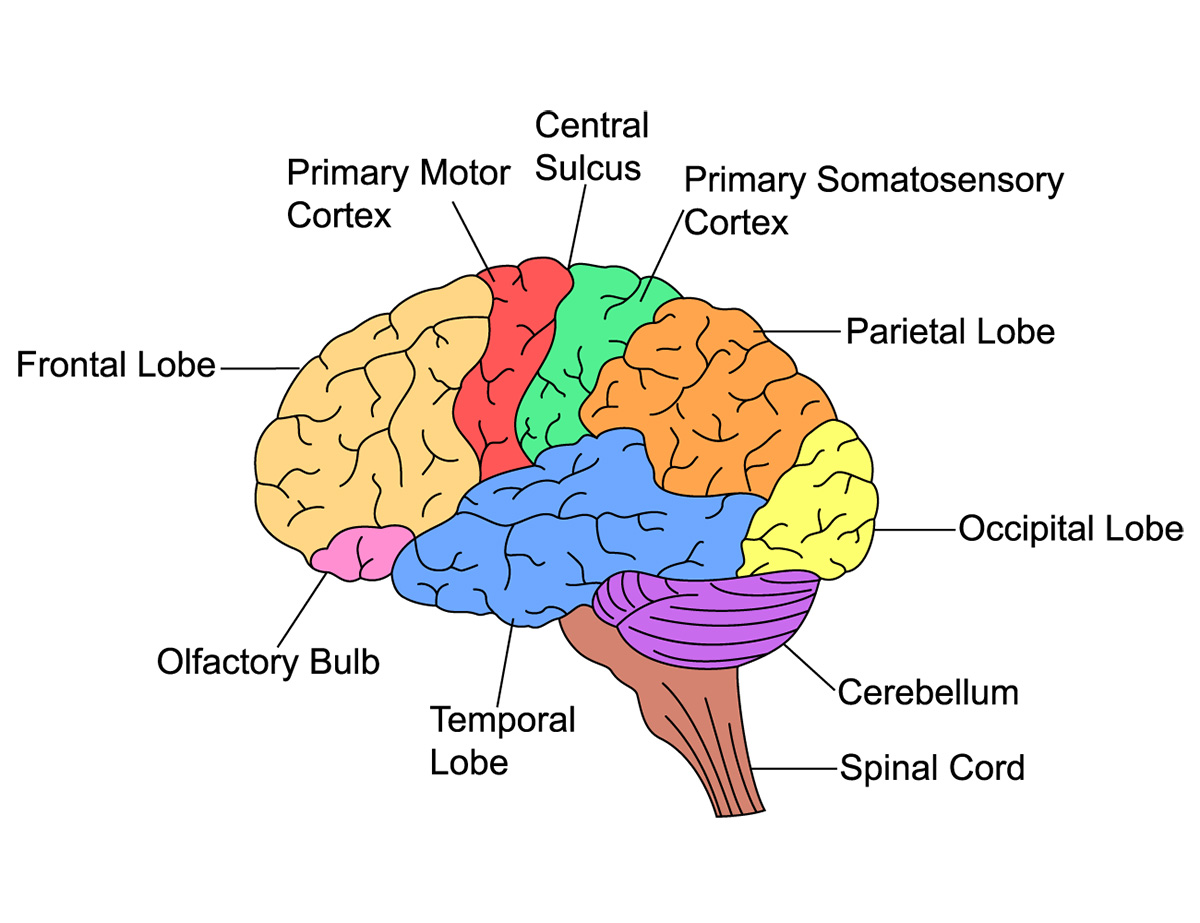 Executive Function Brain Based Learning