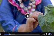 Uso medicinal del matico (Shipibo)