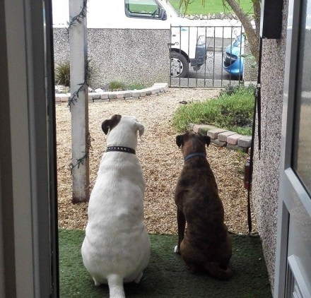 nosey boxer dogs