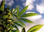 Fumar Marihuana (Cannabis, porros)