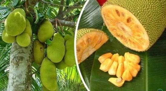 fruta yaca para que sirve