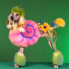 This is not a saluki. It's a poodle/shrimp mix.